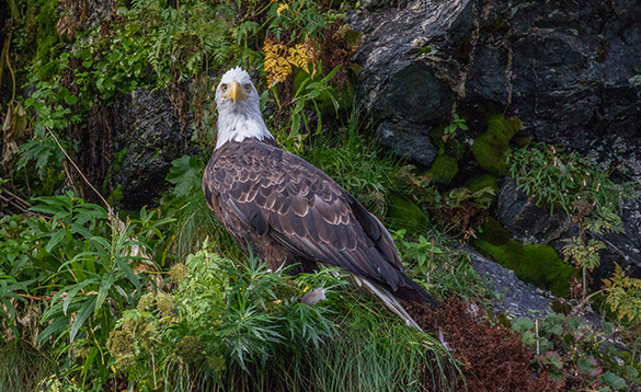 Bald eagle on a cliff side in Alaska/