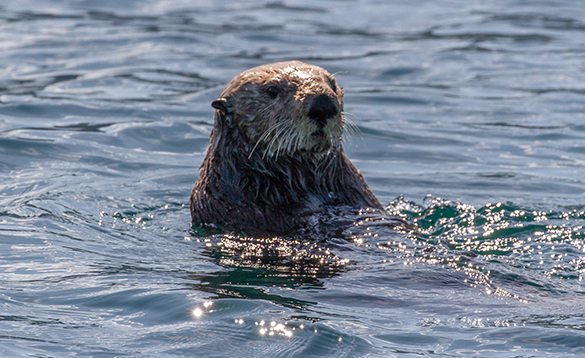 Sea otter in a river in Alaska/