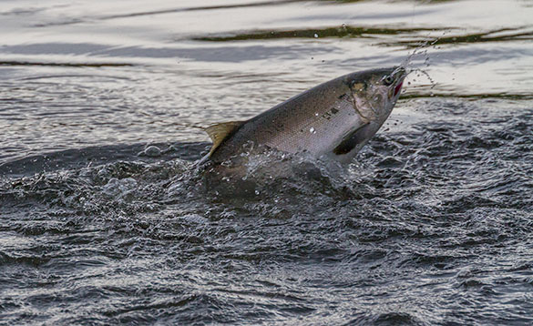 close up of a coho salmon on the surface of the river/