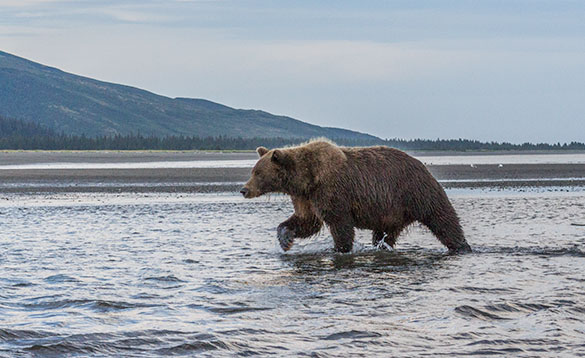 Brown/grizzly bear walking through the river /