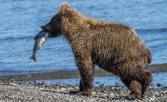 grizzly bear cub carrying a faih along a rocky shoreline beside a river/