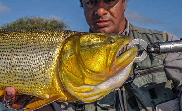 close up of the head of a Golden Dorado fish caught in Argentina/
