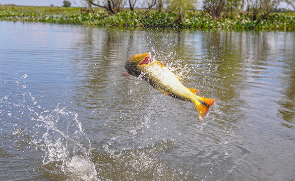 Golden Dorado fish leaping out of the river /