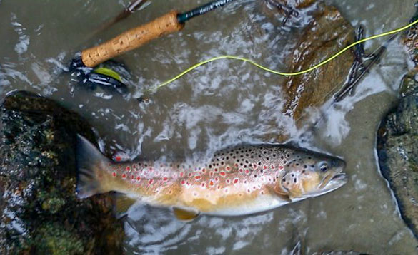 Brown trout in small river in Austria/