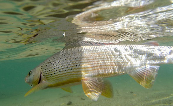 Moll River Grayling/