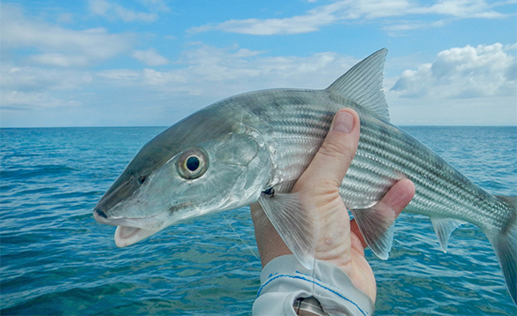 Bonefish caught in Belize/