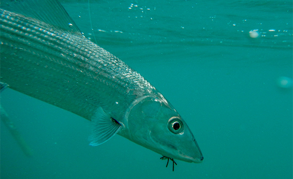 Underwater shot of a bonefish in Belize/