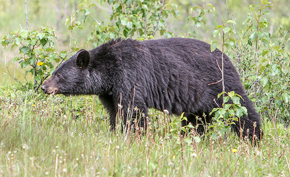 Black Bear feeds on flowers in Canada/