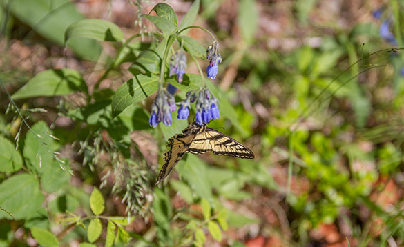 Close up of yellow and black striped butterfly on blue flowers in the Yukon/