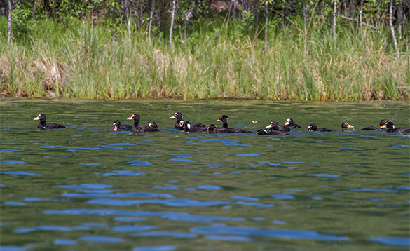 Group of scoter ducks swimming on a lake in the Yukon/