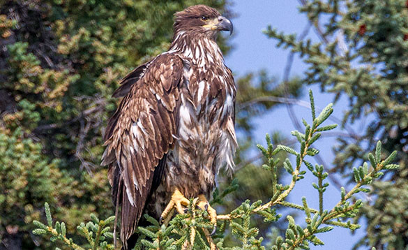 Young sea eagle perched on a tree in the Yukon/
