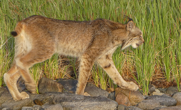 Lynx walking across rock in the Yukon/