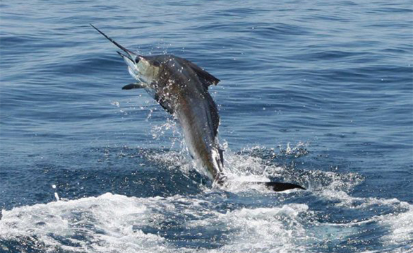 Sailfish leaping out of the sea in Costa Rica/