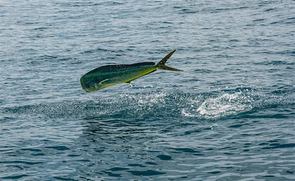 Mahi Mahi fish leaping out of the sea in Costa Rica/