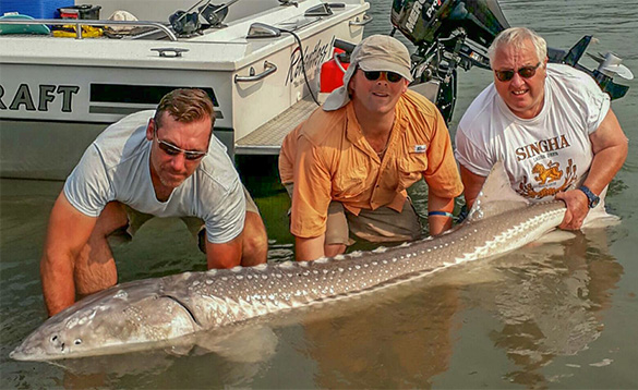 Three anglers holding a giant white sturgeon caught in the Fraser River/