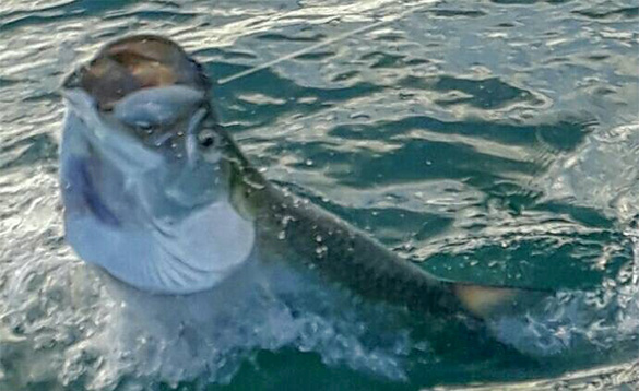 Close up picture of the head of a tarpon/