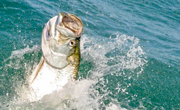 Tarpon leaping out of the water in Nicaragua/