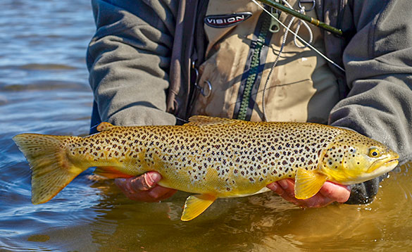 Brown trout caught in Iceland/