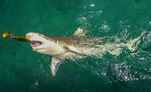Black tip shark/