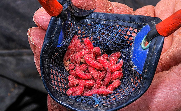 red maggots are a top bait for coarse fish in Ireland/