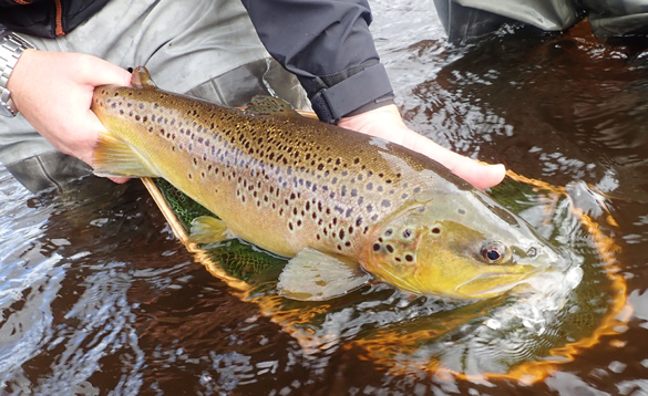 Wild brown trout caught in Ireland/