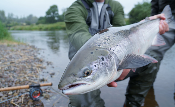 Angler holding a salmon fish caught in Ireland/