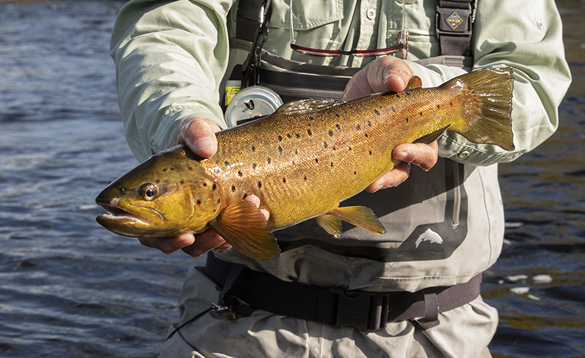 Angler holding a brown trout caught in Ireland/