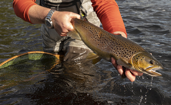 Brown trout caught in Ireland/