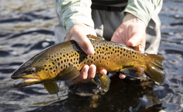 Brown trout caught on a river in Ireland/