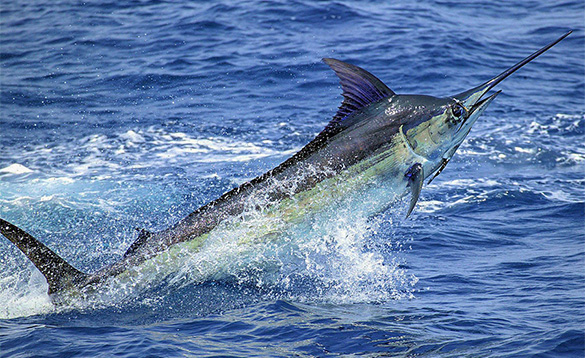 Marlin leaping out of the blue waters near Calheta in Madeira/