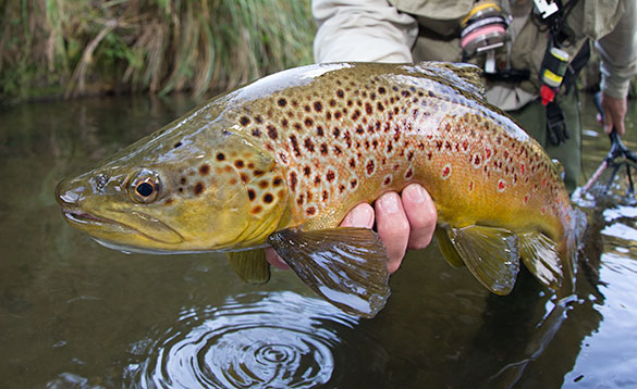 angler holds a stream caught brown trout/