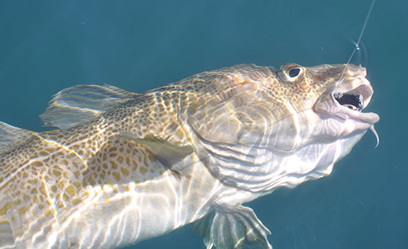 Cod caught on a lure swimming just below the surface of the water/