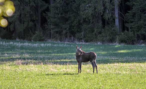 young moose feeds in field sweden/