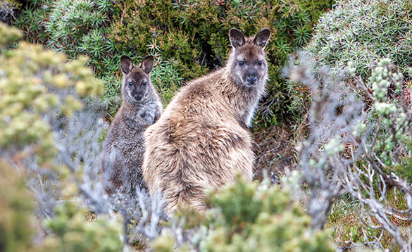 Mountain Wallaby/
