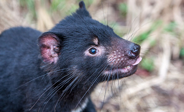Tasmanian Devil looks for food/