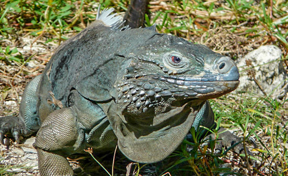 Close up of the head of a blue iguana/
