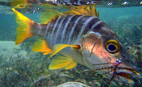 Mangrove Snapper fish swimming in the waters around the Cayman Islands/