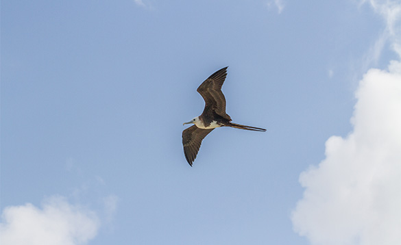 Frigate bird flying across a clear blue sky/