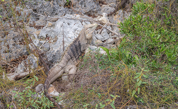 Iguana standing against rocks in the Cayman Islands/