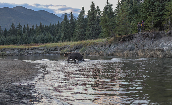 Brown bear walking through river in Alaska /