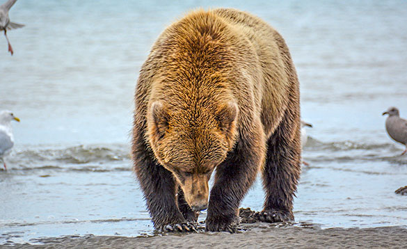 Grizzly bear at the edge of the river sniffing the sand/