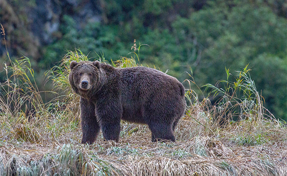 Brown bear in Alaska /