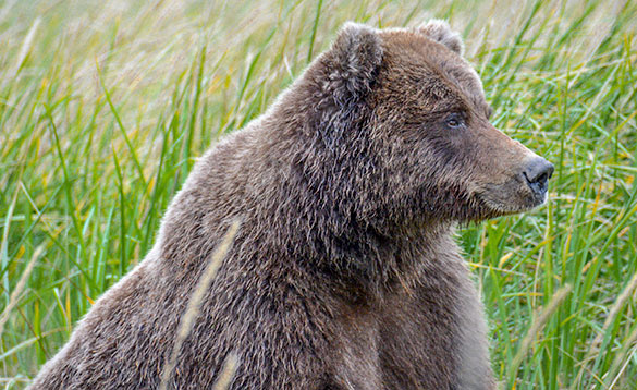 Close up of a grizzly bear's head and shoulders with the bear looking into the distance/