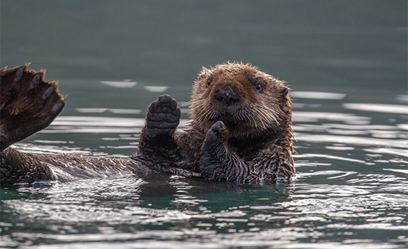 Sea otter floating on its back in Alaska/
