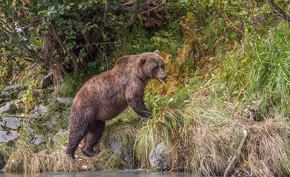 Bear leaving a river and walking up a grassy hillside in Alaska/