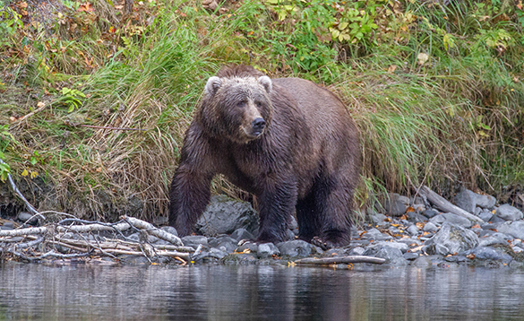 Bear standing on the edge of a river in Alaska/