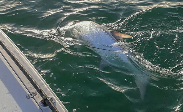Tarpon swimming in the seas in Florida/